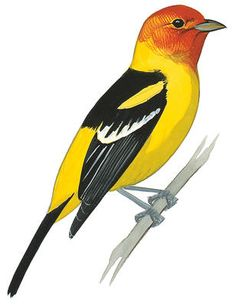 Western Tanager. Birds of North America Field Guide | Audubon