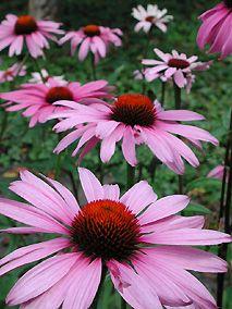 Stauder til haven, bl.a.:  Purpur Solhat 'Magnus' (Echinacea purpurea)