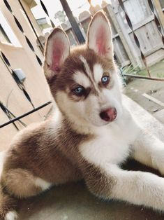 Exceptional pretty dogs detail are offered on our site. Have a look and you wont be sorry you did. Cute Husky Puppies, Husky Puppy, Baby Puppies, Dogs And Puppies, Husky Mix, Cute Dogs Images, Cute Dog Pictures, Cute Dogs Breeds, Dog Breeds