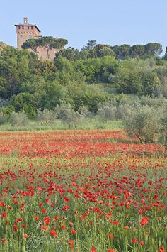 Field of red poppies, Montepulciano, Tuscany I would love to go to Italy when the poppies are in full bloom