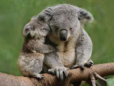Mama and Baby Koala Bear! Too much cuteness here! Cute Funny Animals, Cute Baby Animals, Animals And Pets, Wild Animals, Fluffy Animals, Nature Animals, My Bebe, Australian Animals, Tier Fotos