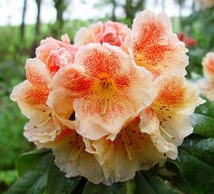 Rhododendron 'Paprika Spiced'