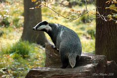One Thousand Badgers : Photo