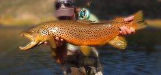 Giant Brown Trout from our guide Derek.