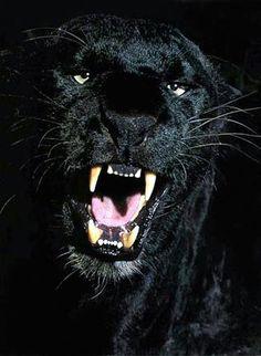 panther+and+leopard | Black panther, a melanistic jaguar, leopard or cougar or puma