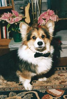 (dapper corgi  The Daily Corgi