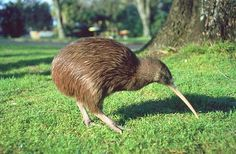 Kiwi are flightless birds endemic to New Zealand, The size of a domestic chicken, kiwi are by far the smallest living ratites and lay the largest egg in relation to their body size of any species of bird in the world.  There are five recognised species, the greatest threat to their survival is predation by invasive mammalian predators. The kiwi is a national symbol of New Zealand.