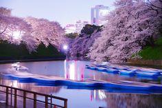Cherry blossoms, at Chidorigafuchi, Tokyo, Japan-  Gorgeous!