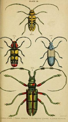 Vintage Ephemera: Colored plate, Beetles, 1852