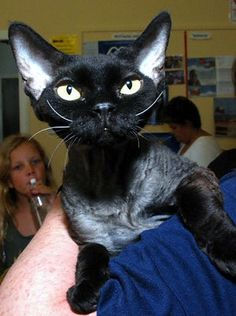What a wonderful picture of a Devon Rex cat as seen on UK Cat Breeders breed profile page.