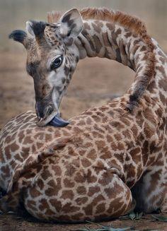 sdzoo: Spot removedor por Ion Moe A um mês de idade girafa toma um banho língua no jardim zoológico de San Diego.