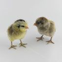 Baby Chicks, Poultry Supplies, Incubators, Brooders at Stromberg's | | Chicks and Game Birds from Stromberg's |