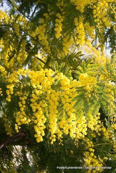 Aromo es el nombre común con el que se conoce a varias especies de árboles pertenecientes al género Acacia de la familia de las leguminosas (Fabaceae, Mimosoideae). 16831007_1394583447258414_620739566484724290_n.jpg (536×800)