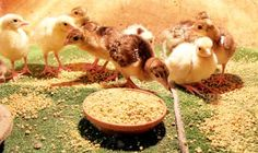 Enhancing Feeds with Fermentation #BackyardChickens www.FreeHenHousePlans.net http://www.eFowl.com/?Click=32918
