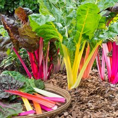 Discover more about Swiss Chard, known for producing large leaves with a colorful mid-rib and spinach-like taste. Grows in full sun to part shade.