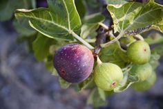 La haie gourmande est un régal pour les yeux et pour les papilles à la saison… #fruit #haie #figue