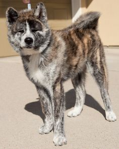 Toki is the most badass japanese akita ever. (as a side note, his front feet don't normally stand like that)