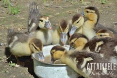 Considering raising ducks for eggs? Eggs are great, but that's just one of many reasons to add ducks to your little homestead. Raising Ducks, Raising Chickens, Baby Chickens, What To Feed Ducks, Muscovy Duck, Duck And Ducklings, Duck Eggs, Guinea Fowl, Baby Ducks