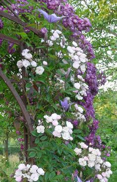 Clematis, Wall Spaces, Gardening Tips, Outdoor Gardens, Color Schemes, Pergola, Flora, Planters, Backyard