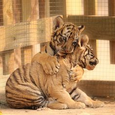 Tiger hugs :) 小虎抱抱