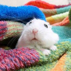 こんばんはでしゅ 遅くなってごめんね 今日も元気だよ  #ジャンガリアンハムスター#ジャンガリアン#ハムスター#パール#パールホワイト#可愛い#もふもふ #うー吉#家族#cute#family#Djungarianhamster#hamster#animal#pet#ペット #ふわもこ部#hamstergram#hammy#love#animal#dwarfhamster#happy_pets#hammy#kaumo by ushikichi