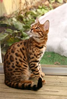 Bengal cat -hybrid breed of domestic cat. Bengals result from crossing a domestic feline with an Asian leopard cat. The exquisite colors and markings are one of a kind. I Love Cats, Crazy Cats, Cute Cats, Adorable Kittens, Le Savannah, Asian Leopard Cat, Photo Chat, Serval, Here Kitty Kitty