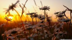 daisy flowers at sunset Hipster Wallpaper, Sunset Wallpaper, Nature Wallpaper, Cool Wallpaper, Daisy Wallpaper, Sunflower Wallpaper, Laptop Wallpaper, Hipster Photography, Nature Photography