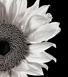 SUNFLOWER STUDY IN BLACK AND WHITE