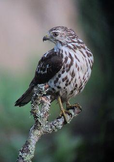 Buteo platypterus / Gavilán aliancho / Broad-winged Hawk