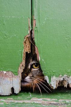 peeking cat (not to be confused with peking duck) : peeking cat (not to be confused with peking duck) Pretty Cats, Beautiful Cats, Animal Pictures, Cute Pictures, Gatos Cat, Image Chat, Mundo Animal, Cat Photography, Tier Fotos