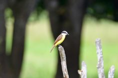 Rusty-margined Flycatcher #birds #Panama