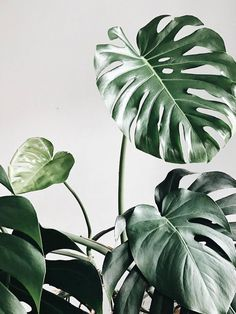 Monstera Monsteradeliciosa Plants Pflanzen Zimmerpflanzen urban jungle greenery Gr n Houseplants Cool Plants, Green Plants, Tropical Leaves, Tropical Plants, Mises En Page Design Graphique, Plant Aesthetic, Aesthetic Art, Plant Wallpaper, Tumblr Art
