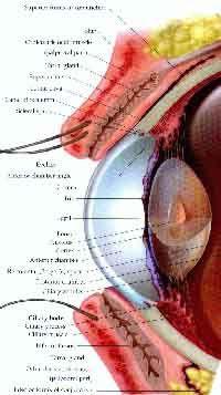 fig3-57bTN.jpg Human Eye Diagram 200x357