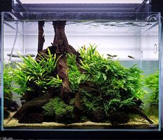 #greenaqua #gallery #showroom #aquascaping #plantedtank #nature #aquarium #aquadesignamano