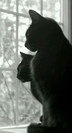 Black cats looking out a window. #cat #cats