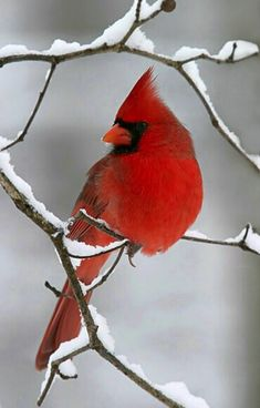"""Beautiful Snow Cardinal - My father loved Cardinals. When they would come into the yard he said, """"Look at that speck of red!"""" They are beautiful birds and I always think of my dad when I see one! Pretty Birds, Love Birds, Beautiful Birds, Animals Beautiful, Simply Beautiful, Hirsch Illustration, Animals And Pets, Cute Animals, Photo Animaliere"""