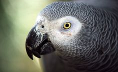 Success! African Grey Parrots Are Protected From The Wildlife Trade | Care2 Causes