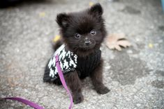 Marvelous Pomeranian Does Your Dog Measure Up and Does It Matter Characteristics. All About Pomeranian Does Your Dog Measure Up and Does It Matter Characteristics. Baby Pomeranian, Chihuahua, Lap Dogs, Dogs And Puppies, Doggies, New Puppy, Puppy Love, Cutest Puppy, Baby Animals