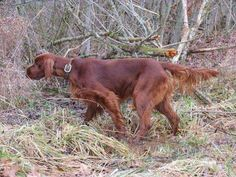 Dedicated to breeding high quality Irish Setters, we value dogs with hunting ability, beauty and great temperament.