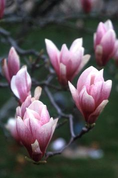 Tulip Tree - called purple magnolia in Louisiana