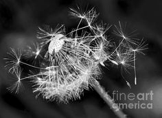 #DANDELION #GLOW - #Dandelion   #Prints & G/Cards available at:    http://kaye-menner.artistwebsites.com/featured/dandelion-glow-kaye-menner.html  -