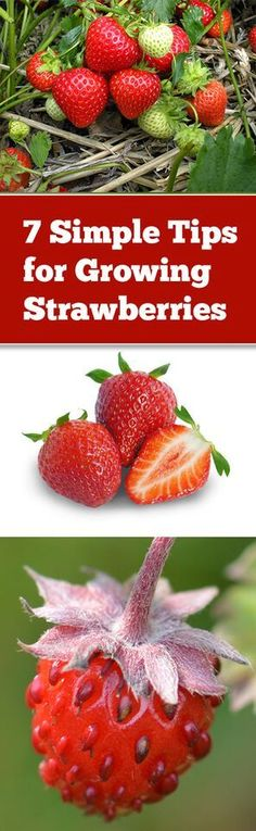 How to grow strawberries, growing strawberries, fruit gardening, container gardening hacks, popular pin