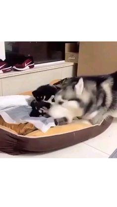 cute video huskies puppies