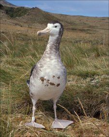 Amsterdam albatross - 130 left