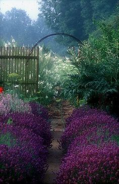 I want to see this when I look out the back door. I think what I like the most is the taller plants just behind the gate that hint at a garden of flowers you could feel small in. Tall, soft, floral texture and a circular portal. Hidcote lavender hedge.  Jardin de Plume, Normandy, France.