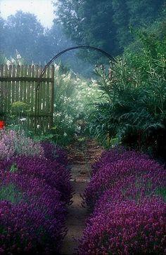 Hidcote lavender hedge.  Jardin de Plume, Normandy, France.