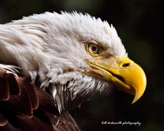 Feathers of a Bald Eagle by billandmaria