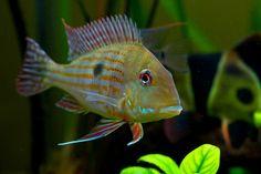 Geophagus surinamensis Cichlid Aquarium, Aquarium Fish, South American Cichlids, Tropical Aquarium, Beautiful Fish, Aquatic Plants, Planted Aquarium, Freshwater Fish, Fresh Water