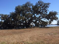 A wonderful, ancient live oak leaning out over the New River, Jasper County, SC