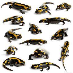 Fire salamanders (Salamandra salamandra)